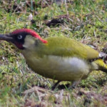 Green Woodpecker in the Museum Garden